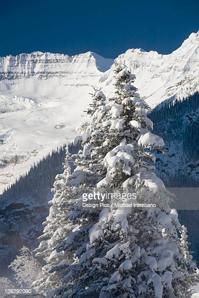 snow covered evergreen tree and snow covered mountains in the background against a blue sky