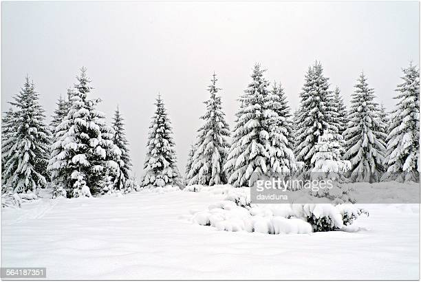 snow covered fir trees, transylvania, romania - coberto de neve - fotografias e filmes do acervo