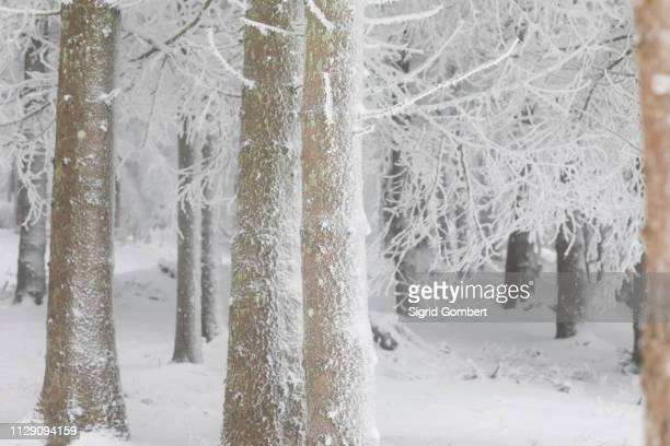 snow covered forest, detail - sigrid gombert stock pictures, royalty-free photos & images