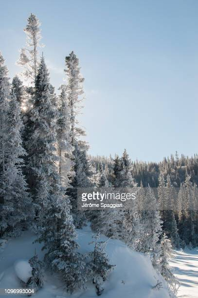 snow covered forest in monts-valin national park, québec, canada - foresta temperata foto e immagini stock