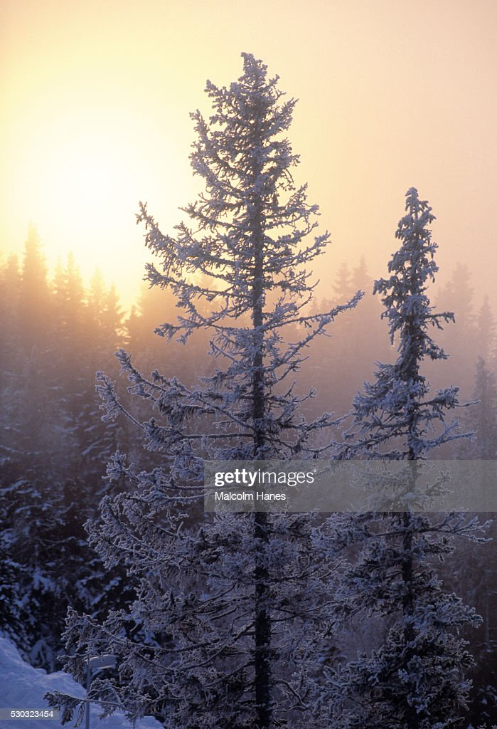 Snow covered forest in winter : Stock Photo