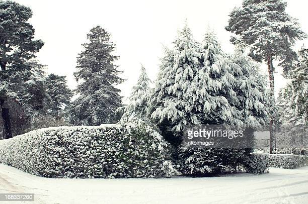 Snow covered hedges in England