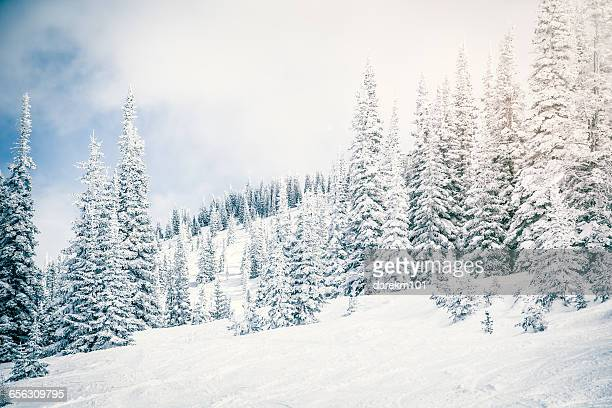 Snow covered landscape and evergreens, Steamboat Springs, Colorado, America, USA