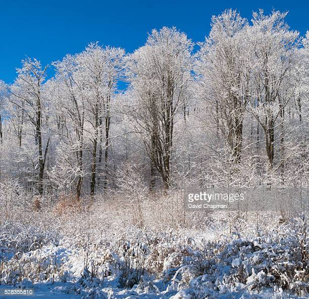 Snow Covered Maple Trees; Iron Hill Quebec Canada