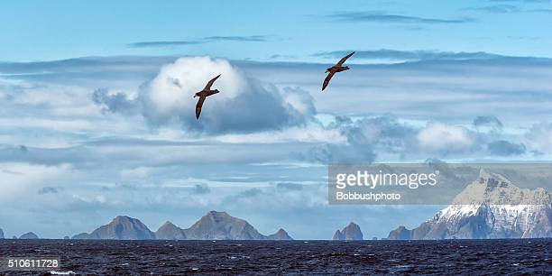 Snow covered mountains and albatrosses,  South Georgia Island