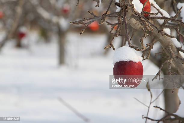 Snow covered on an apple on a tree