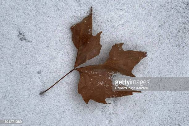 snow covered pavement. close up of a dead dried clover shaped leaf. - howard pugh stock pictures, royalty-free photos & images