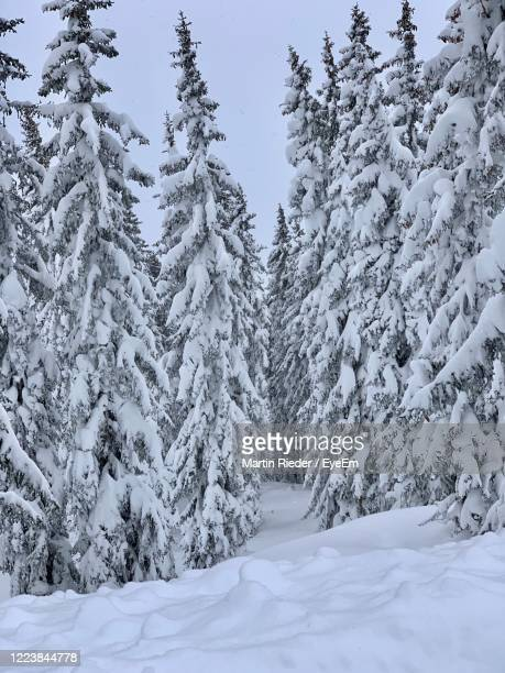 snow covered pine trees in forest during winter - leogang stock pictures, royalty-free photos & images
