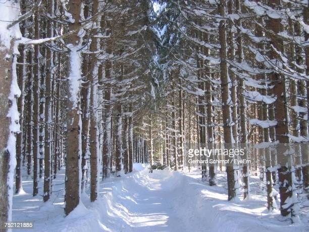 snow covered pine trees in forest during winter - gerhard schimpf stock pictures, royalty-free photos & images