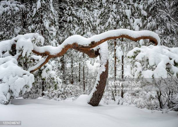 snow covered pine trees in forest - arne jw kolstø stock pictures, royalty-free photos & images