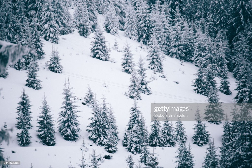 Snow Covered Pine Trees In Forest : Stock Photo