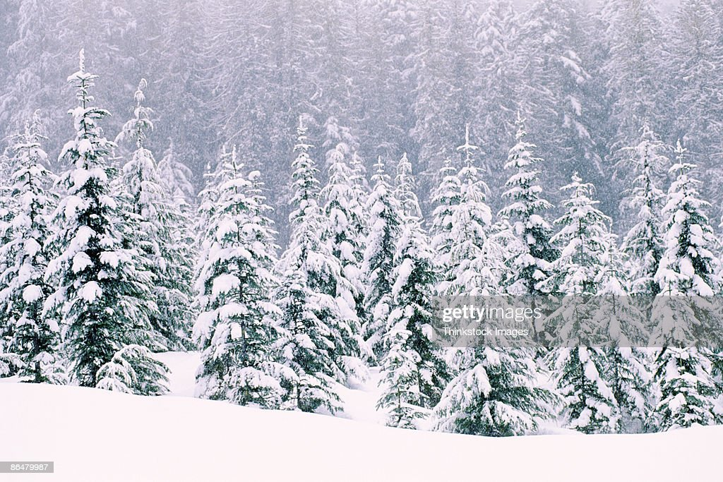 Snow covered pine trees : Stock Photo
