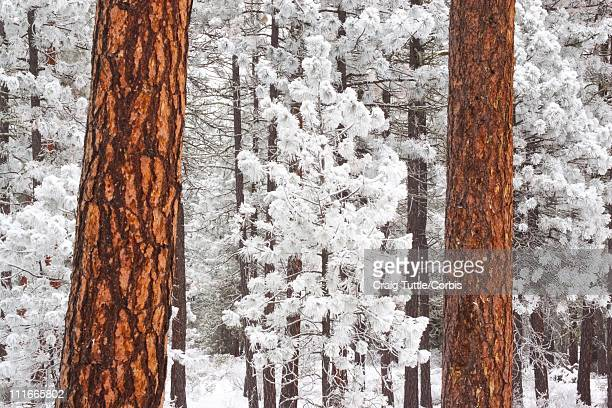 snow covered ponderosa pine trees - mt hood national forest stock pictures, royalty-free photos & images