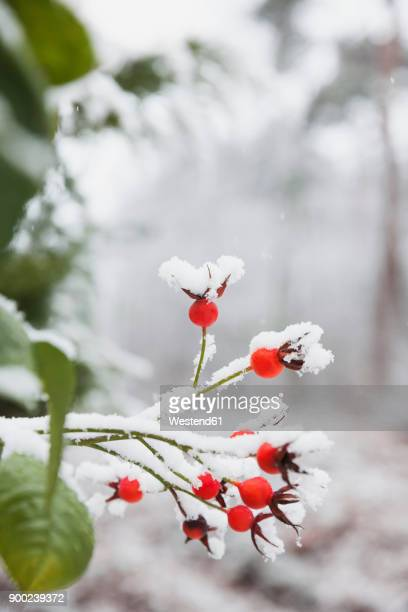 snow covered rose hips - branch plant part stock pictures, royalty-free photos & images
