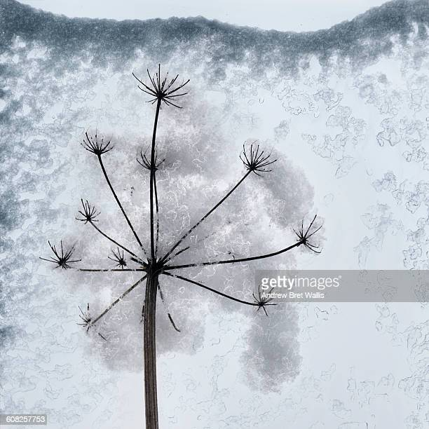 Snow covered seed head against glass window pane