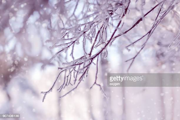 Snow covered spruce branches. Winter nature