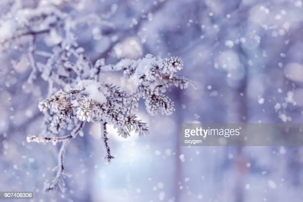 snow covered spruce branches. winter nature - kegel stockfoto's en -beelden