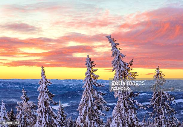 Snow covered Spruce Trees at sunset, Oslo Norway
