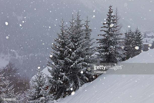Snow covered spruces in Swiss alps (bad weather), snowing