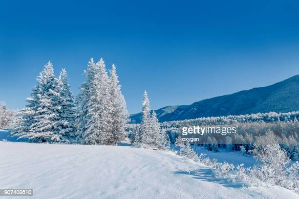 snow covered the fir trees in altay mountains - シベリア ストックフォトと画像