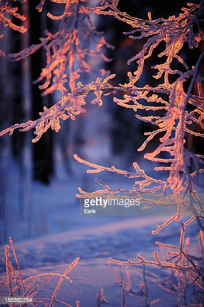 Snow covered tree branches against winter forest