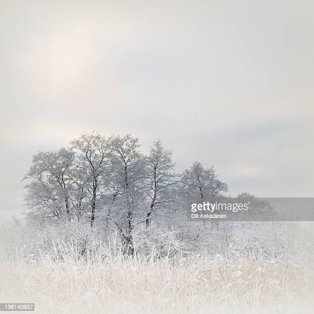 Snow covered tree branches on foggy morning