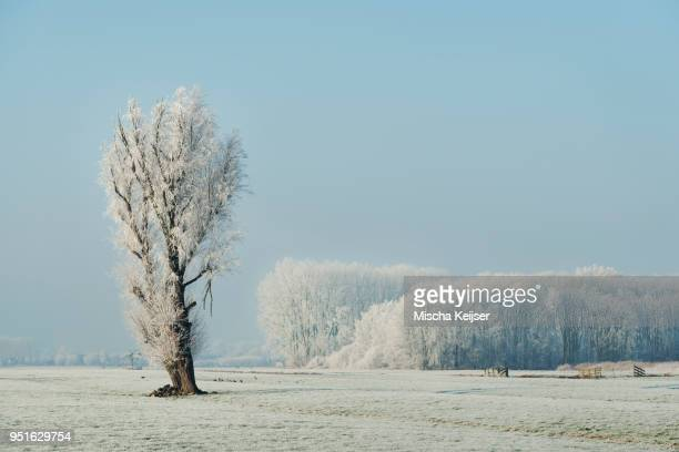 Snow covered tree in a field on a winters day, Den Dool, South Holland, Netherlands
