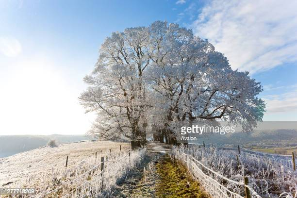 Snow covered tree on Downham Hill. Uley. Gloucestershire. UK.