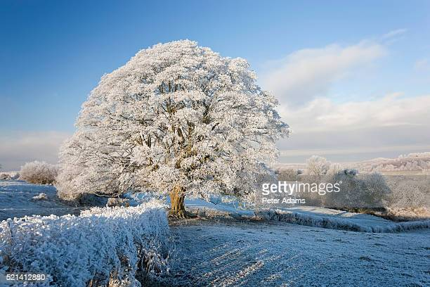 snow covered tree on downham hill, uley, gloucestershire, uk - snow stock pictures, royalty-free photos & images