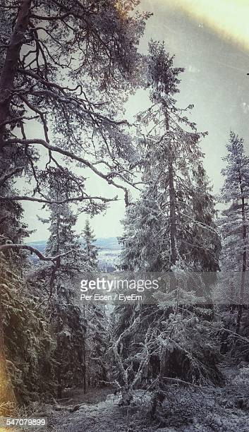 snow covered trees against sky - レクサンド ストックフォトと画像