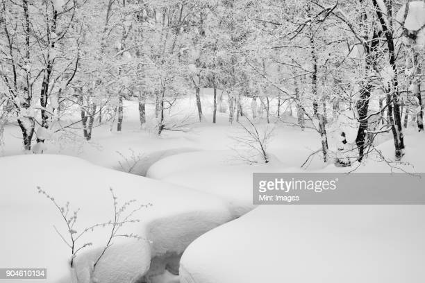 Snow covered trees and deep snow in a forest in winter.