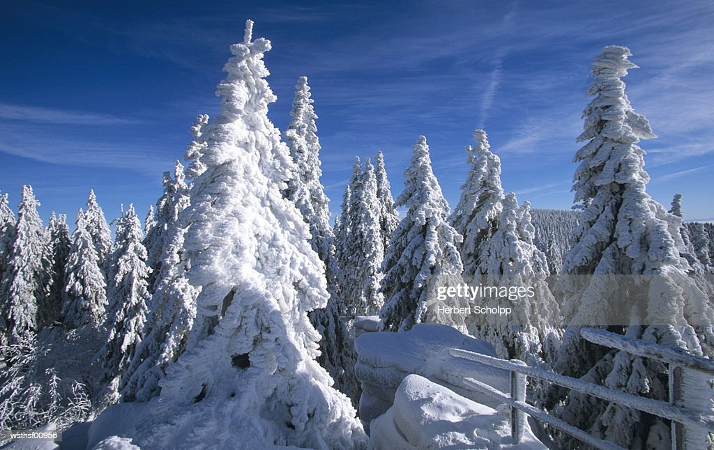 Snow covered trees, at Dreisessel, Bavarian Forest, Germany : Stock Photo