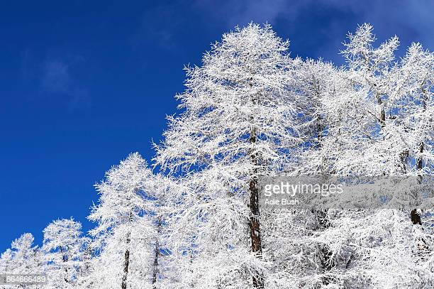 Snow covered trees, French Alps