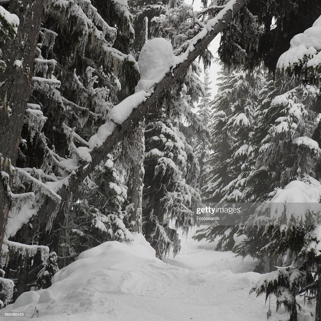 Snow covered trees in a forest : Stock Photo