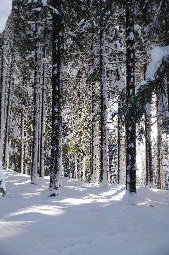 Snow Covered Trees In Forest - gettyimageskorea