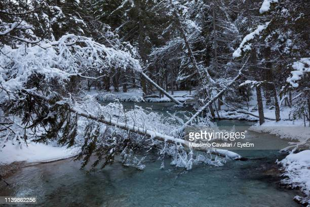 snow covered trees in forest - massimo cavallari stock pictures, royalty-free photos & images