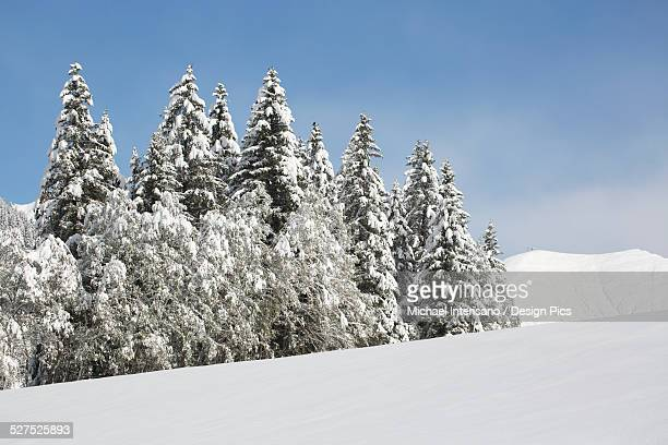 Snow covered trees in snow covered field with snow covered mountain and blue sky