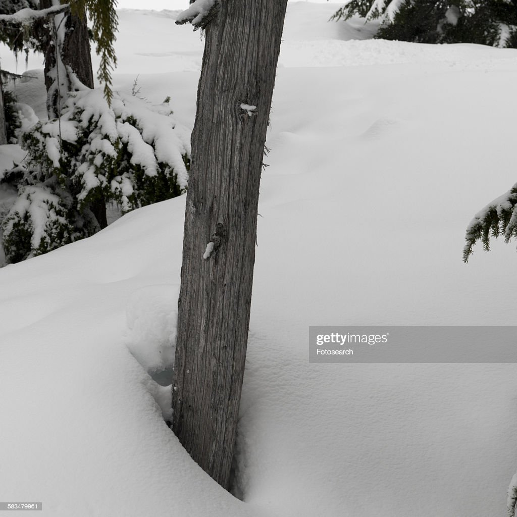 Snow covered trees in Whistler : Stock Photo