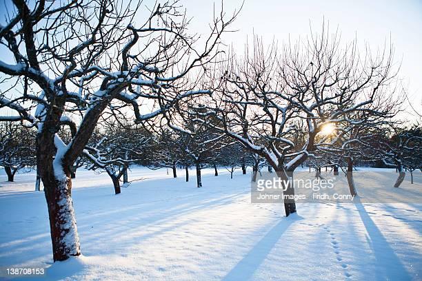 snow covered trees in winter - appelboom stockfoto's en -beelden