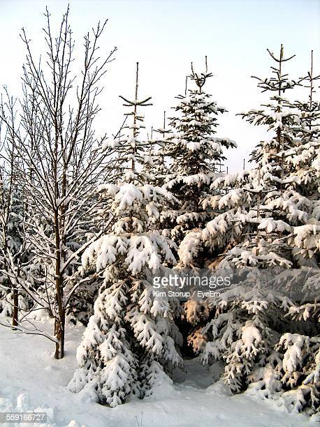 Snow Covered Trees On Field Against Clear Sky