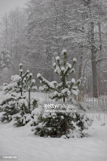 snow covered trees on field - brezinska stock pictures, royalty-free photos & images