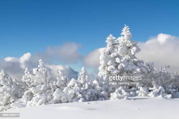 snow covered trees - henning baum stock-fotos und bilder