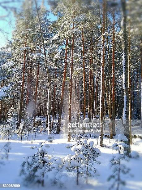 snow covered trees - mia woods photos et images de collection