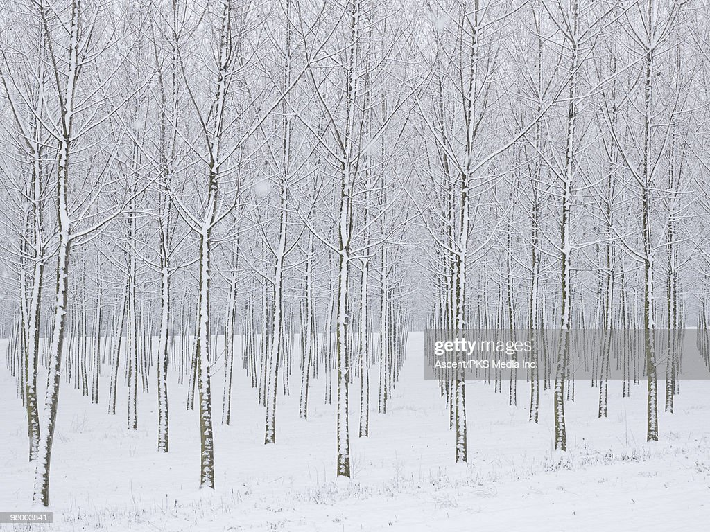 Snow covered tress in planted forest, snowstorm : Foto de stock