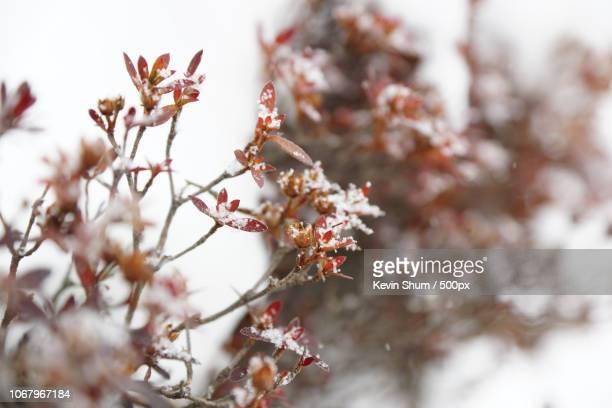 snow covering tree leaves - kevin shum stock-fotos und bilder