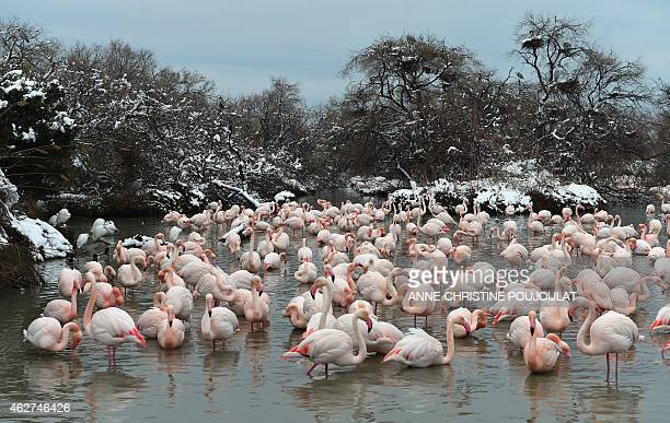 Snow covers the lack side as Pink Flamingos stand together at the Pont de Gau Ornithological Park in the Camargue on February 4 2015 Pont de Gau...