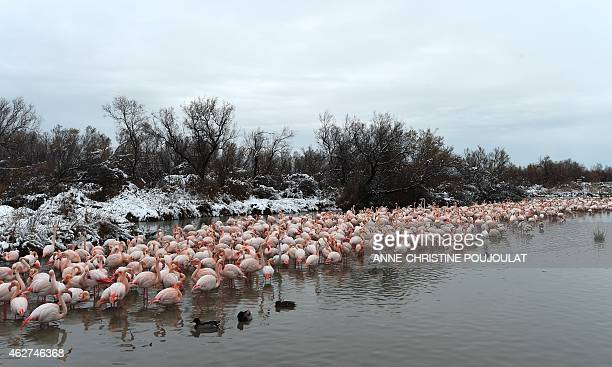 Snow covers the lake side as Pink Flamingos huddle together in the water at the Pont de Gau Ornithological Park in the Camargue on February 4 2015...