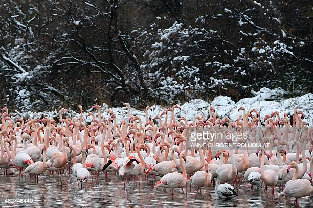 Snow covers the lake side as Pink Flamingos stand together in the water at the Pont de Gau Ornithological Park in the Camargue on February 4 2015...