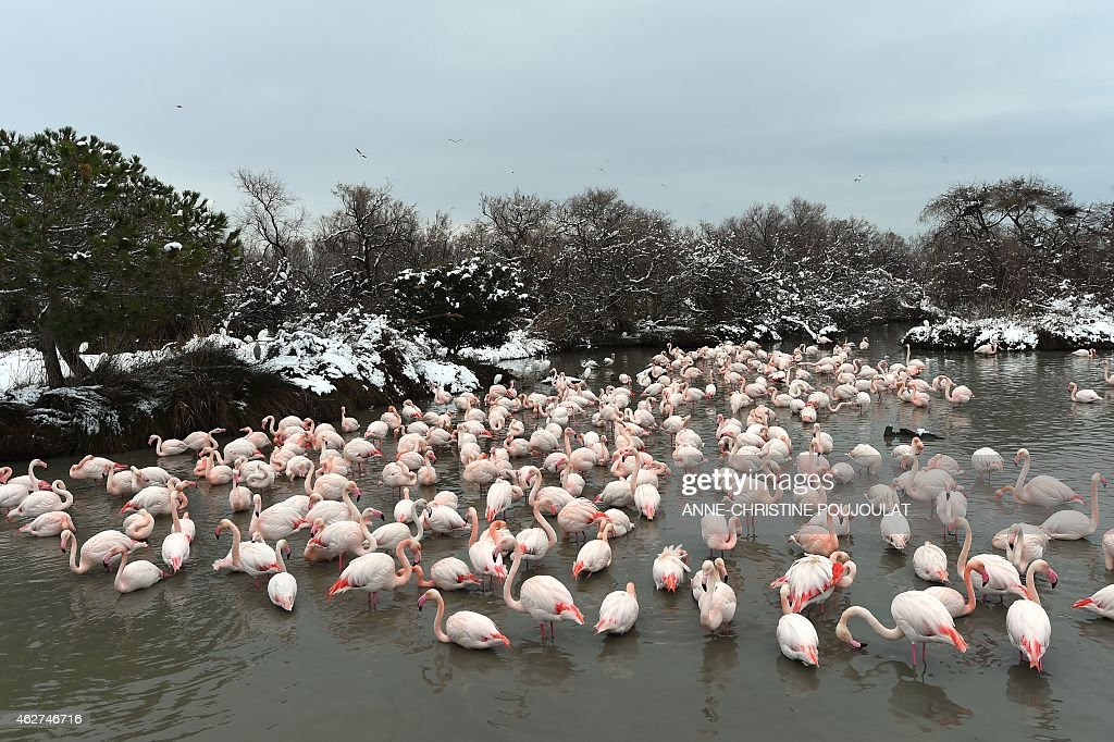 Snow covers the lake side as Pink Flamingos stand together in the water at the Pont de Gau Ornithological Park in the Camargue, on February 4, 2015. Pont de Gau Ornithological Park facilitates the observation of several hundreds of pink flamingoes, herons, swans, egrets, teals, birds of prey, sparrows and small wading birds.