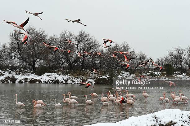 Snow covers the lake side as Pink Flamingos take to the air at the Pont de Gau Ornithological Park in the Camargue on February 4 2015 Pont de Gau...
